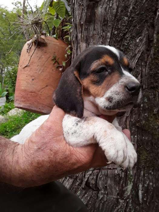 <strong>beagle</strong>s Muy Lindos Mejor Compañia