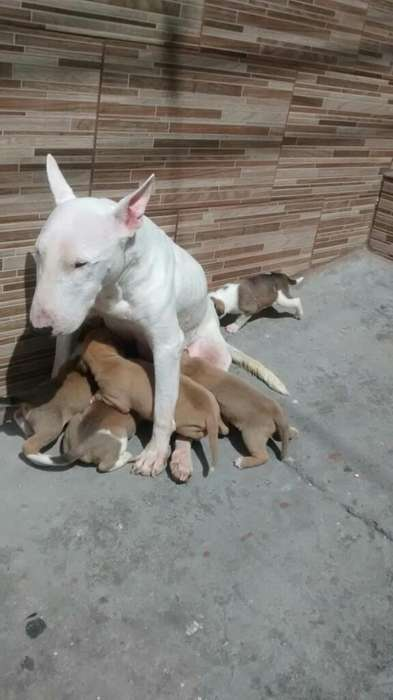 <strong>perro</strong> Bull Terrier