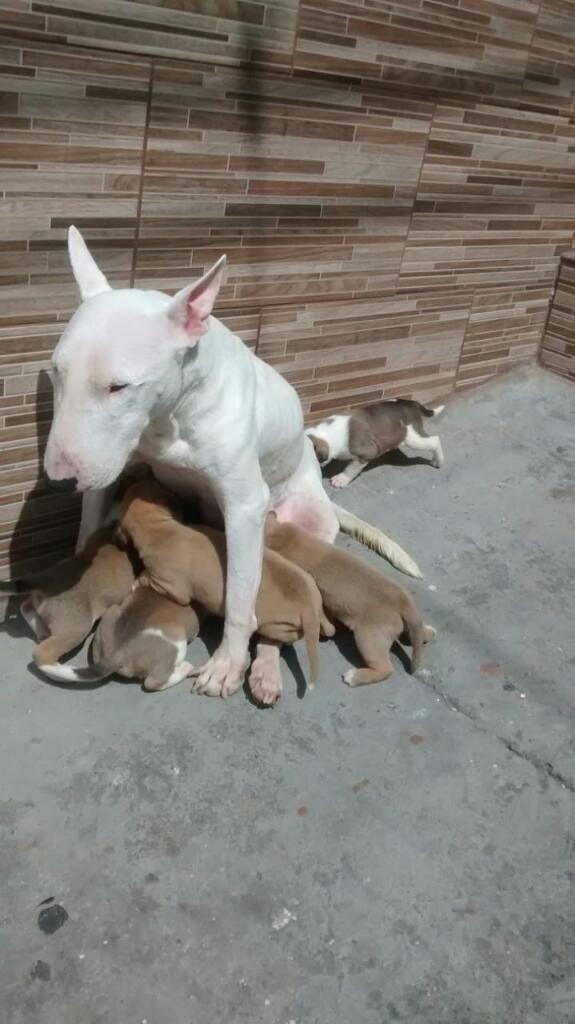 Perro Bull Terrier