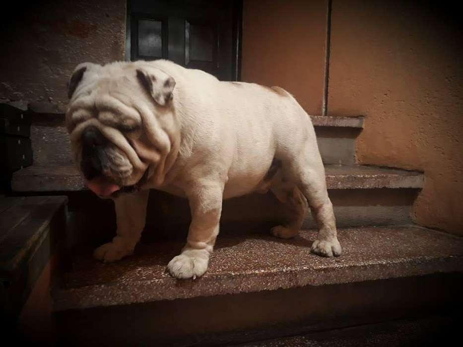Bulldog ingles para servicio de montas