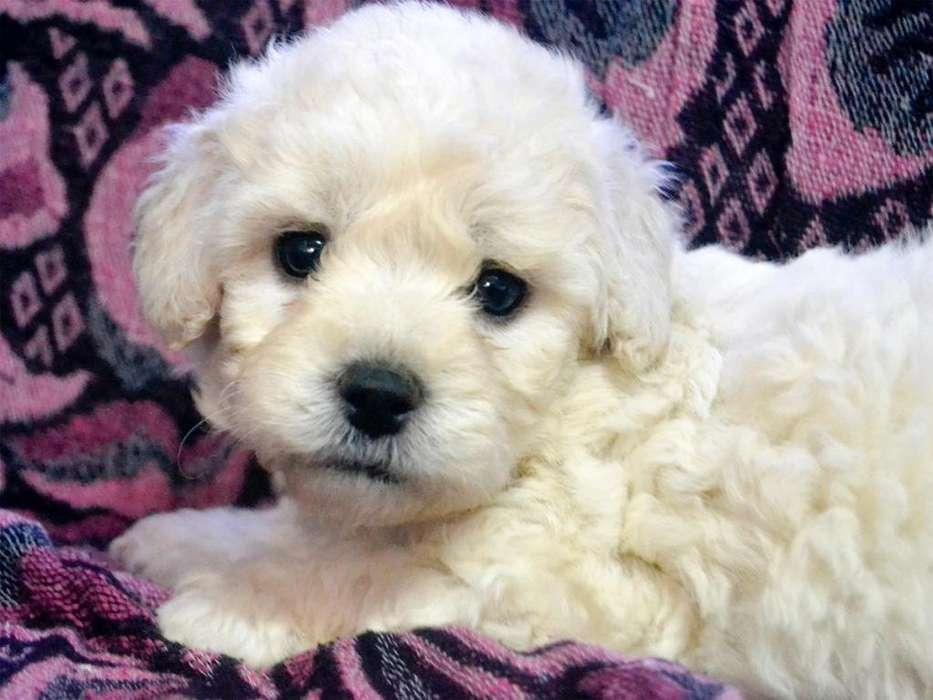 Cachorros Poodle Vacunados Hembras y Machos