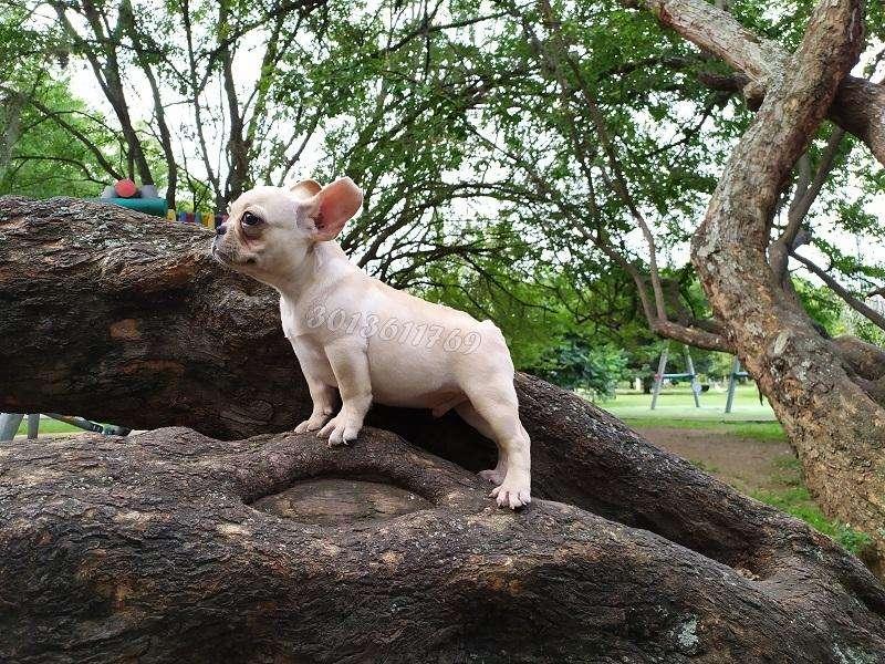 Vendo hermoso cachorro de bulldog francés machito color fawn de 3 meses raza totalmente pura con todo al dia