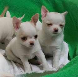 Bellos Chihuahuas Blanquitos con Manchas