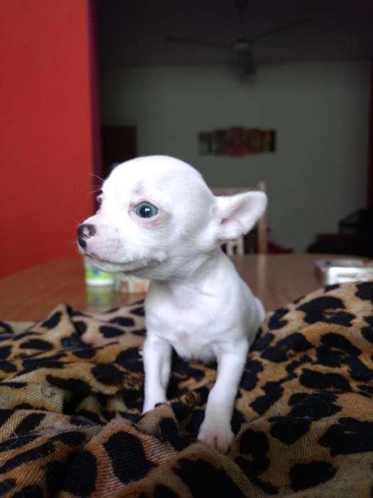 Chihuahua mini macho