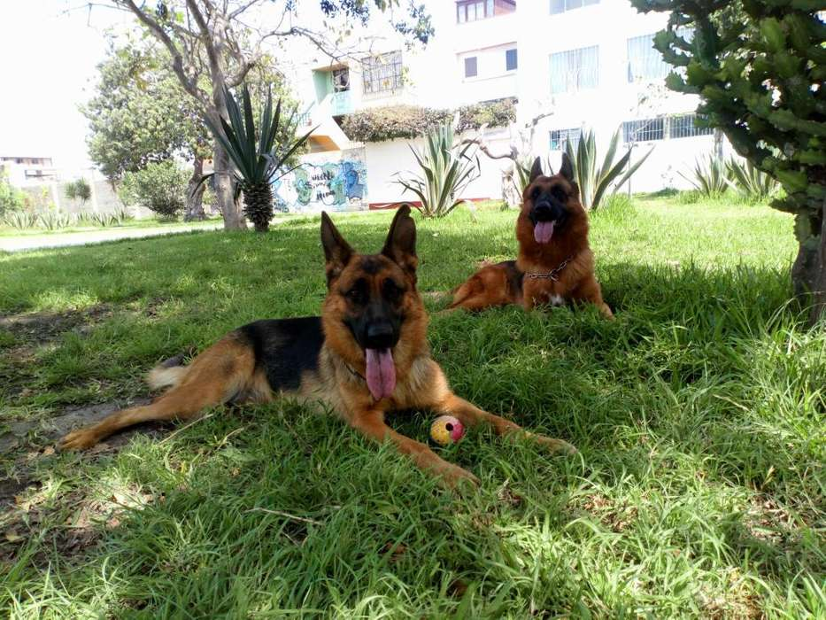 <strong>cachorro</strong>s Pastores Alemanes Full pedigree