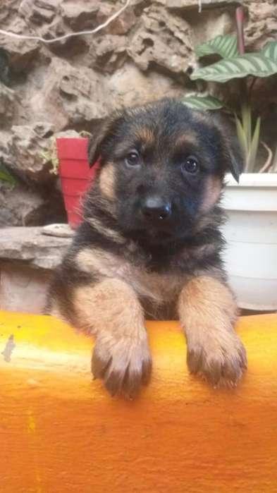 Vendo Hermosos Cachorros Pastor Alemán