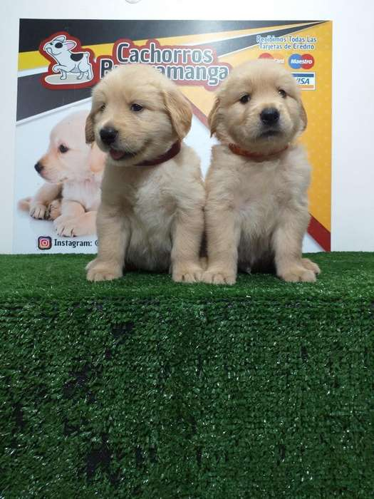 Bollitos Golden Retriever