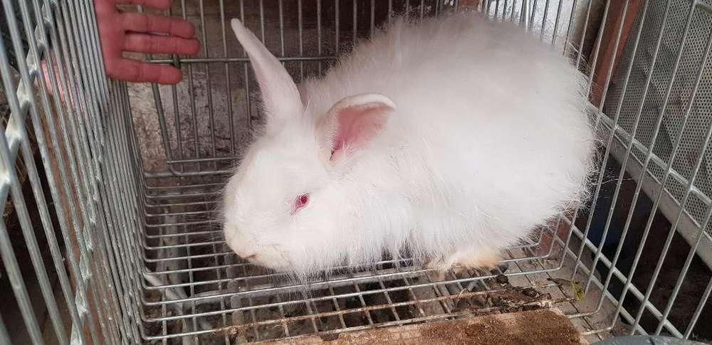 Conejo Angora Y Orejas Caídas