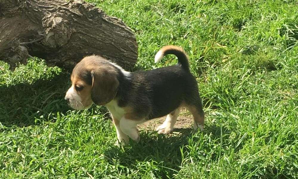 <strong>beagle</strong>s Macho