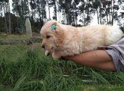 Cachorros golden padres gigantes con pedigree de Mexico