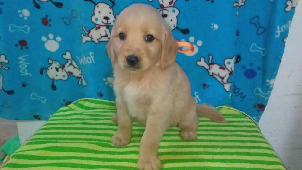 Gama Altisima Golden Retriever