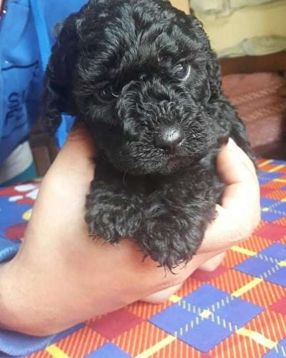 <strong>cachorro</strong>s Mini Toy Negros Disponible
