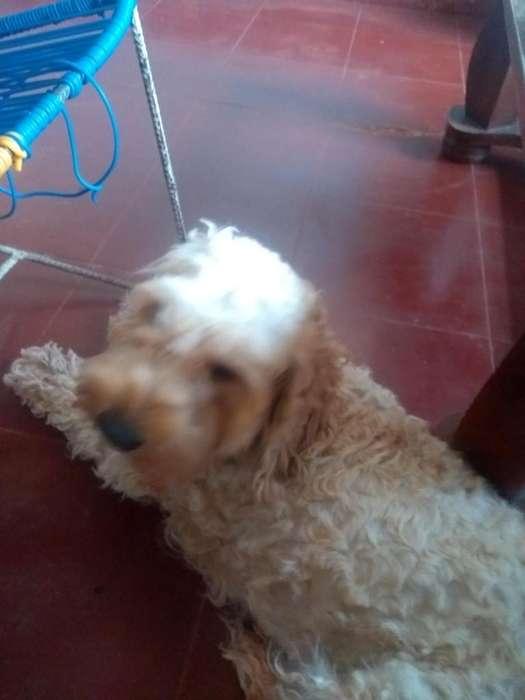 Bosco poodle macho para monta