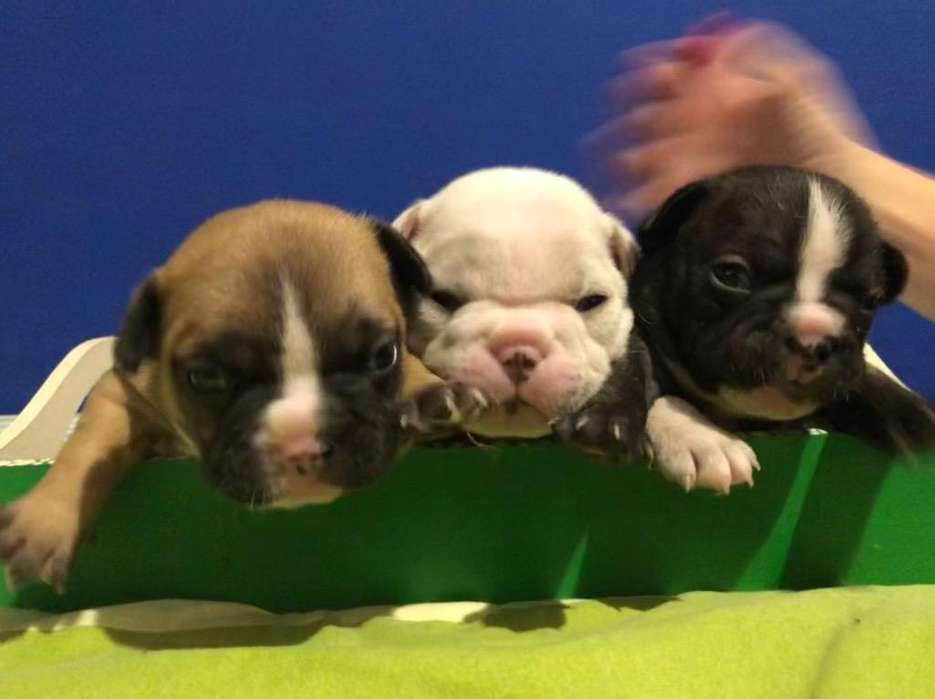 Vendo BullDog Frances