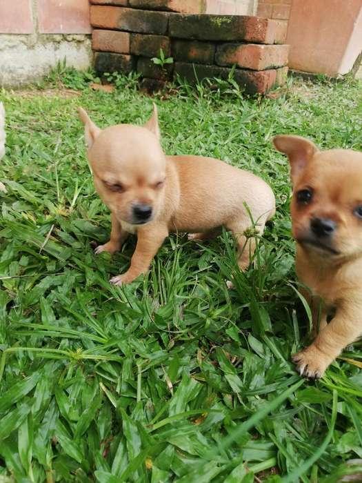 Chihuahuas 100%puros