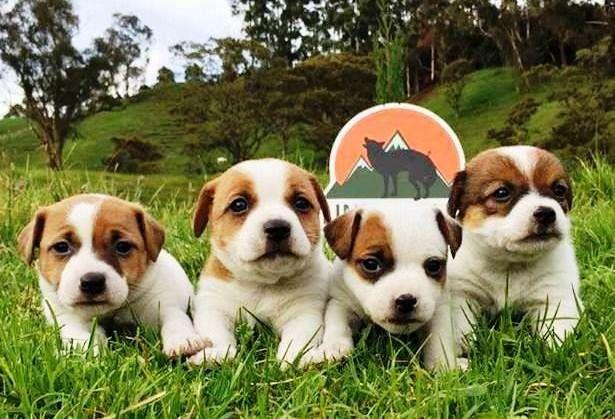 JACK RUSSELL <strong>terrier</strong> DE EXCELENTE GENÉTICA DISPONIBLES, PADRES IMPORTADOS DE 25 CM