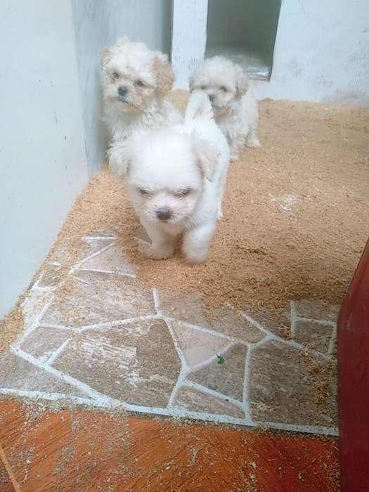 Cachorritos shitzu con poodle