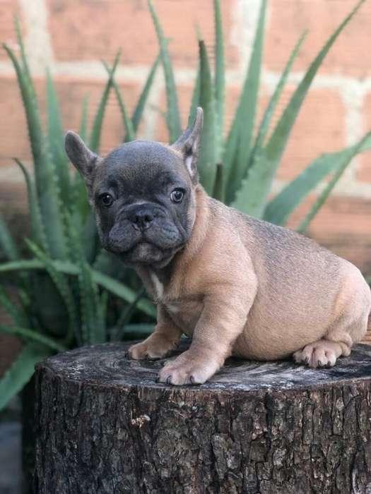 Hermoso Bulldog Frances.