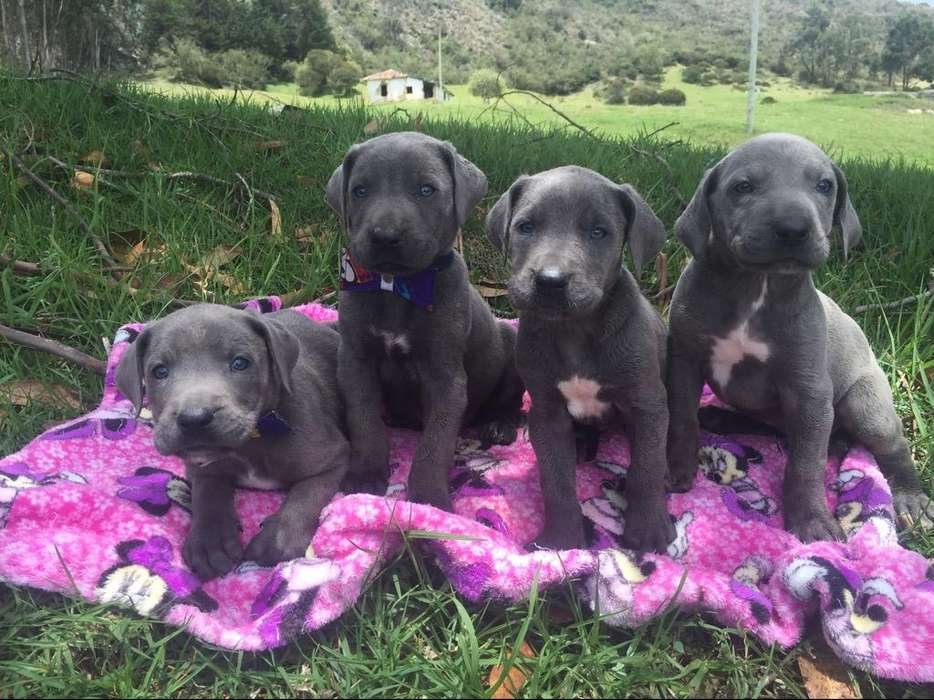 <strong>cachorro</strong>s Gran Danes Disponibles