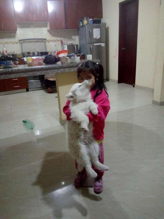 Vendo Hermoso Husky Siberiano