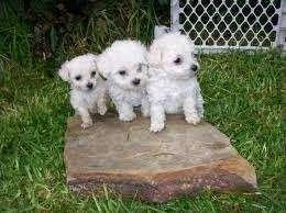 cachorritos frenchs poodle mini toy