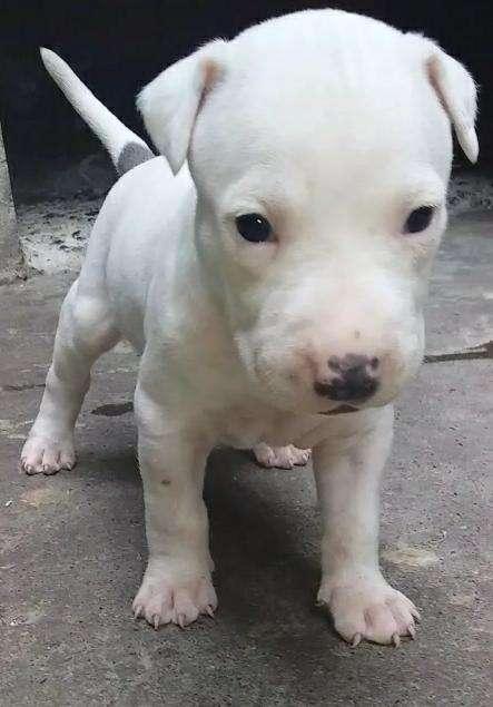 Pit bull Cachorros