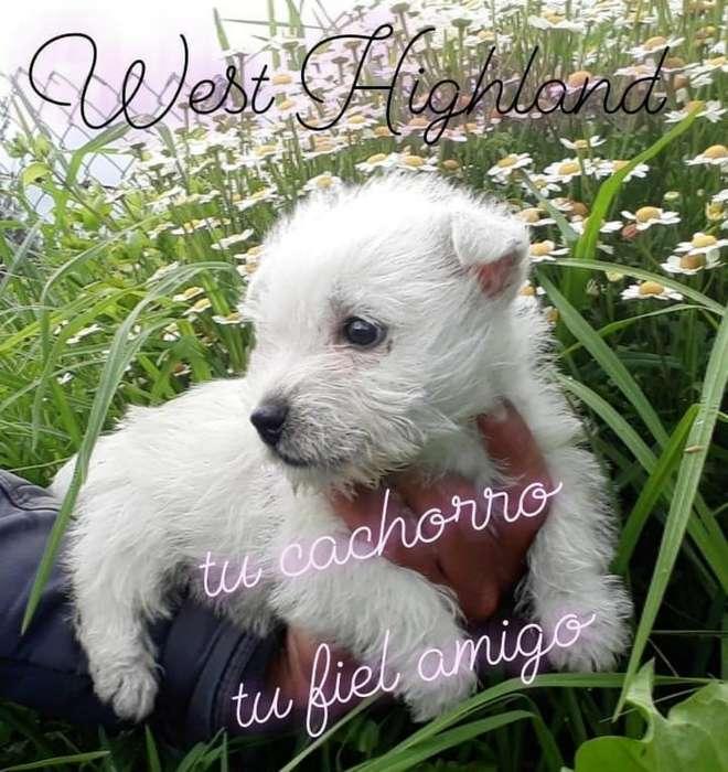 Hermosa Cachorrita West Highland White