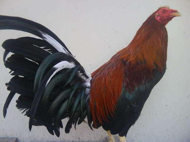 gallos y <strong>gallinas</strong> importados españoles , cubanos , puertoriqueños