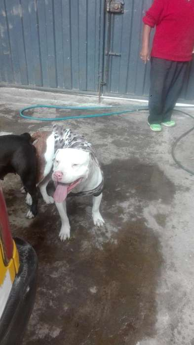 <strong>cachorro</strong>S PITBULL AMERICANRED NOUSE