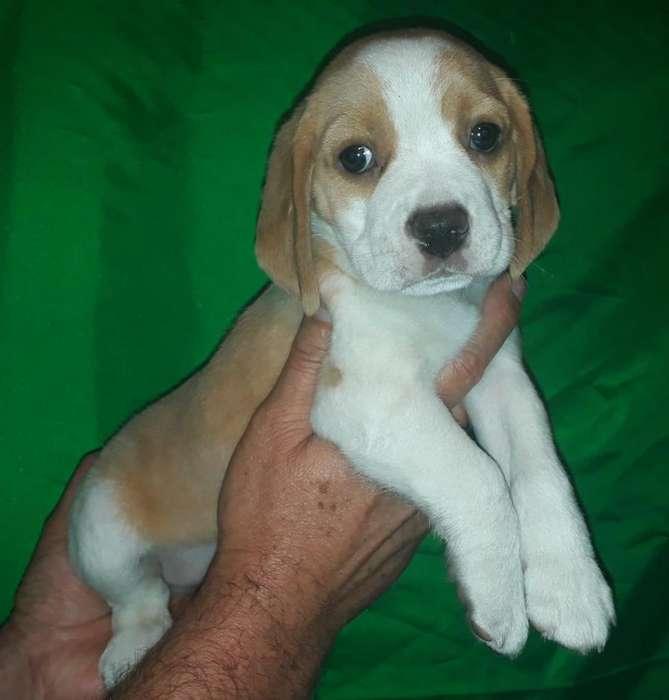 Criadero Emanuel ofrece hermosa cachorra beagle limón