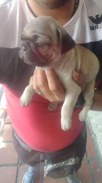 Pug Y Golden