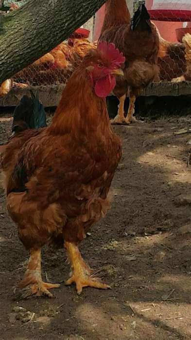 Gallos Criollos Campesinos Aves <strong>pollos</strong>