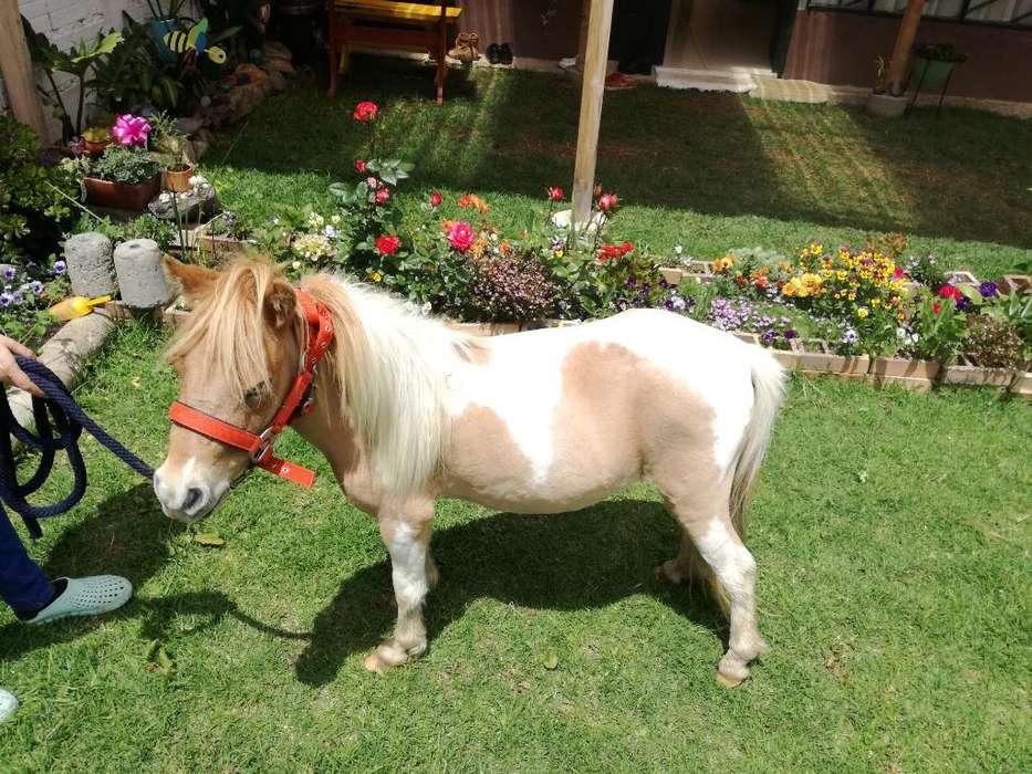 Vendo Hermosa Mini Horse