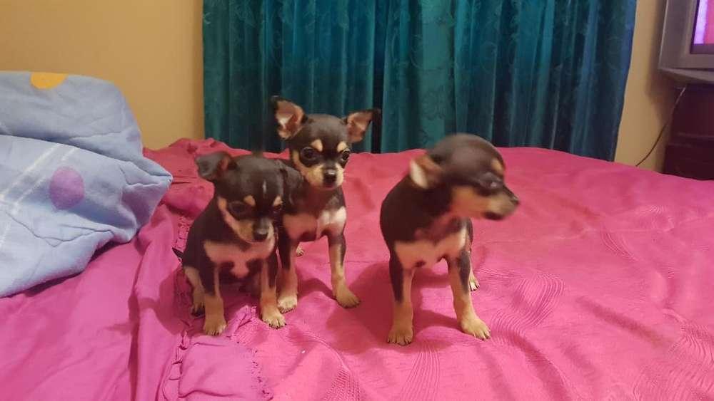 Vendo 4 Chihuahuas 2 Hembras Y 2 Machos