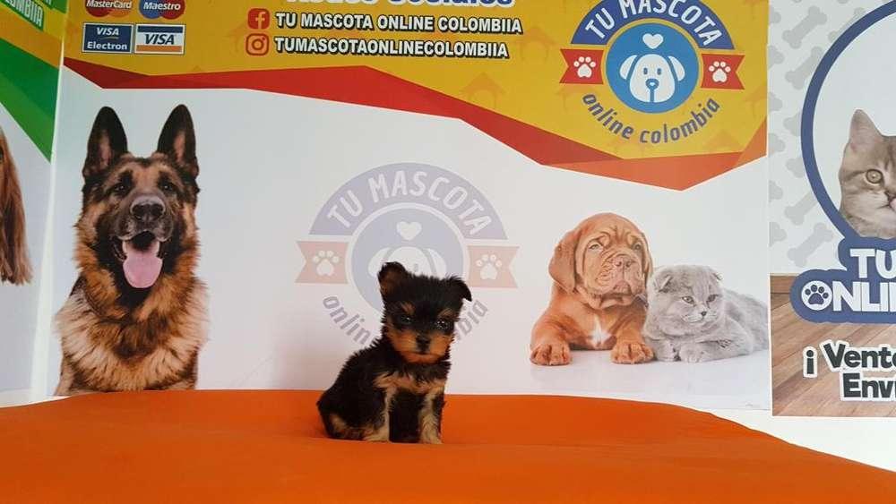 Fantastico Yorkshire Tacita Terrier