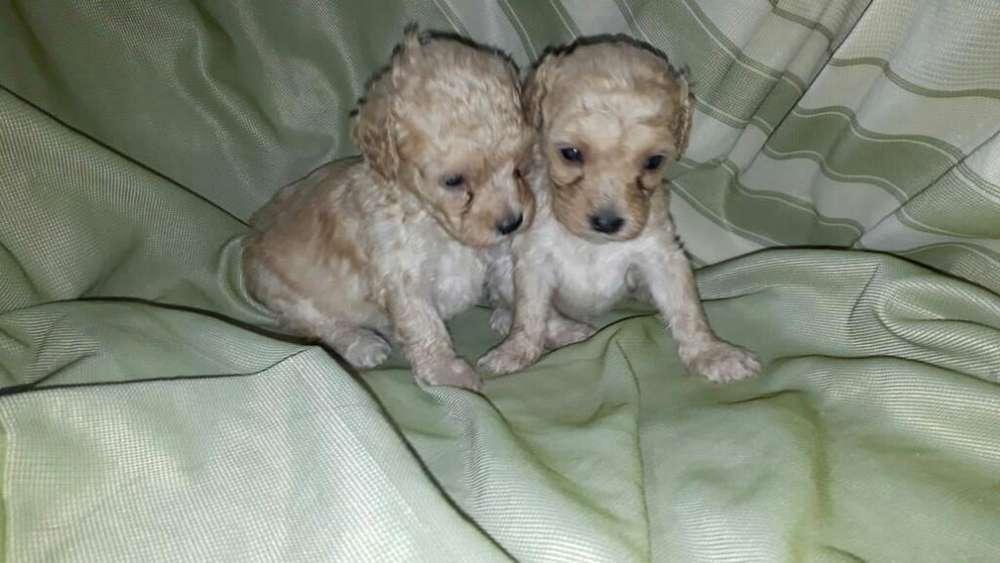 Tiernos Ejemplares de French Poodle Mini