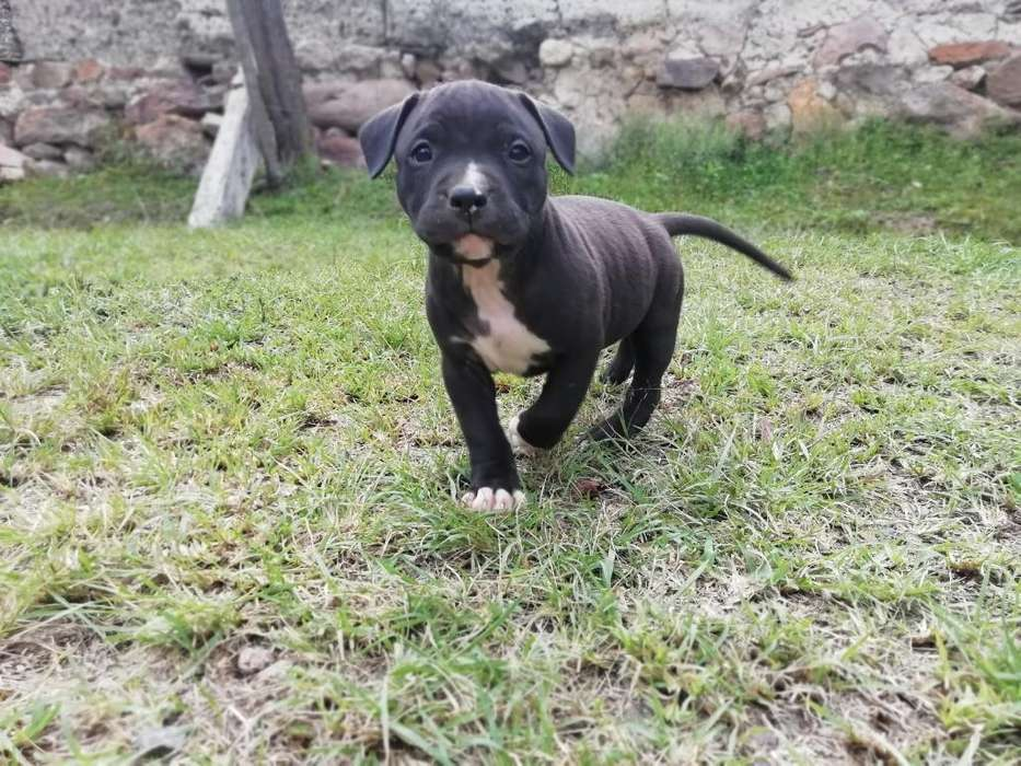 Vendo <strong>cachorro</strong>s Pitbull Stanford