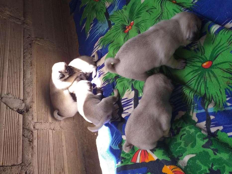 Se venden perros raza pug a 300 mil cada uno