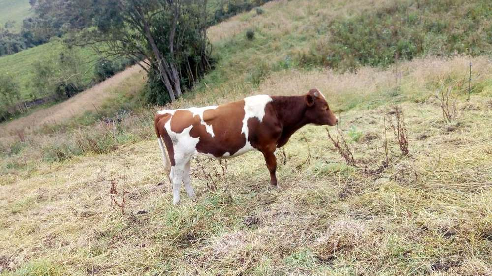 Novillo Holstein Rojo