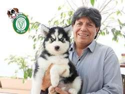 CACHORROS HERMOSOS HUSKY SIBERIANO EN PET VITAL !!!