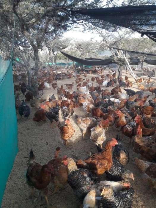 VENDO <strong>pollos</strong> CAMPEROS AL POR MAYOR Y MENOR 10 DOLARES