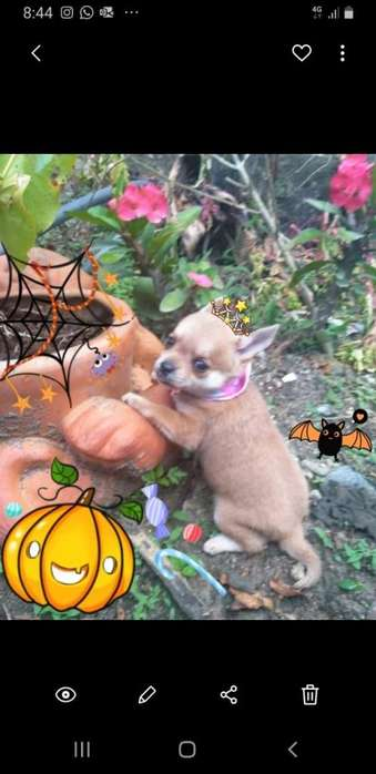 brujita <strong>chihuahua</strong> for sale!!!!