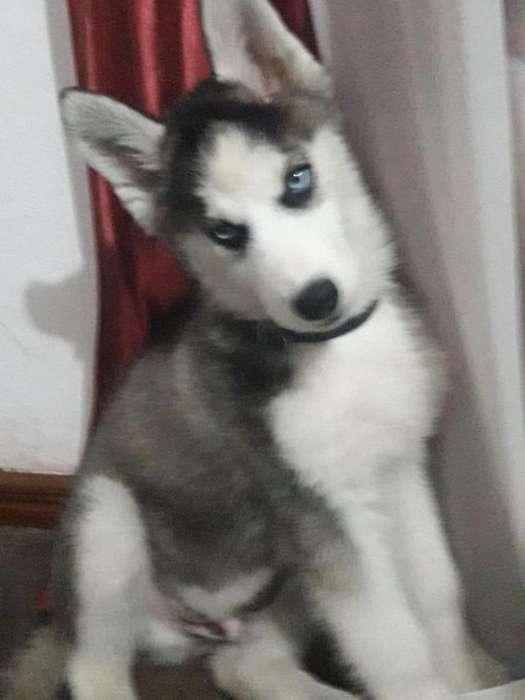 Husky, 3 meses, macho