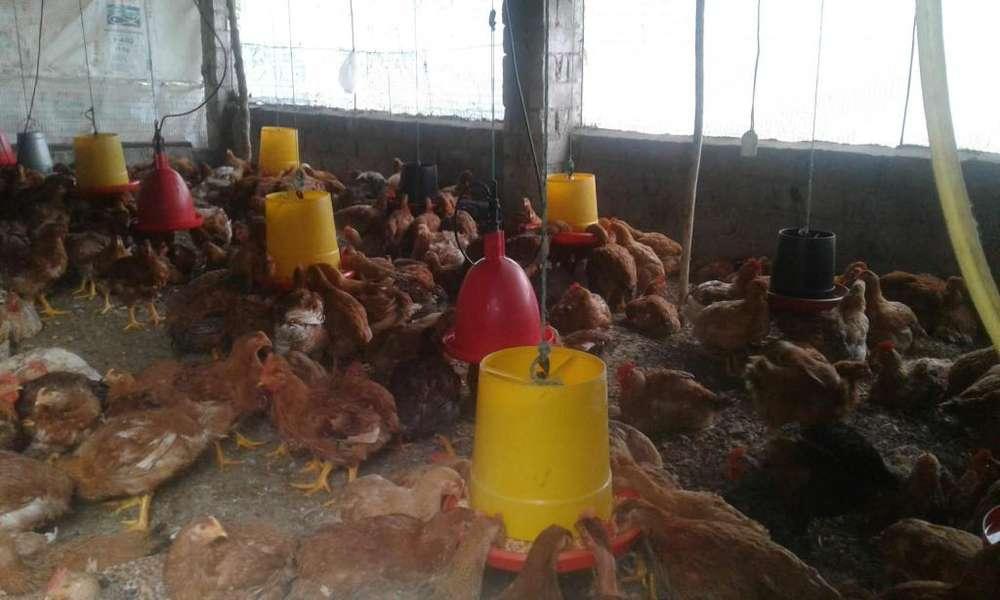 <strong>pollos</strong> PIO PIO