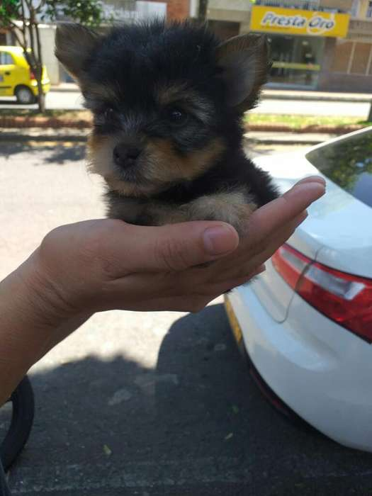 Yorshire Terrier Tacita