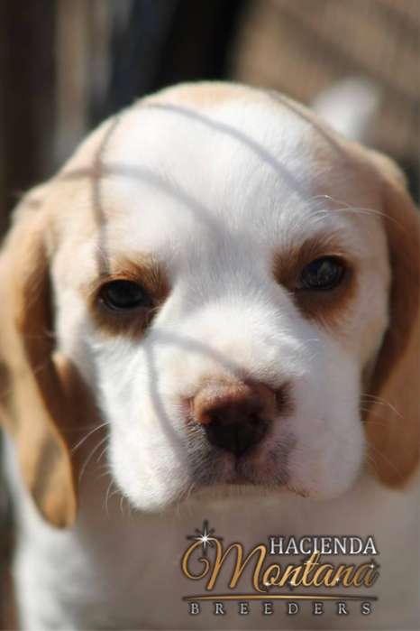CACHORROS <strong>beagle</strong> LIMÓN EN MANIZALES