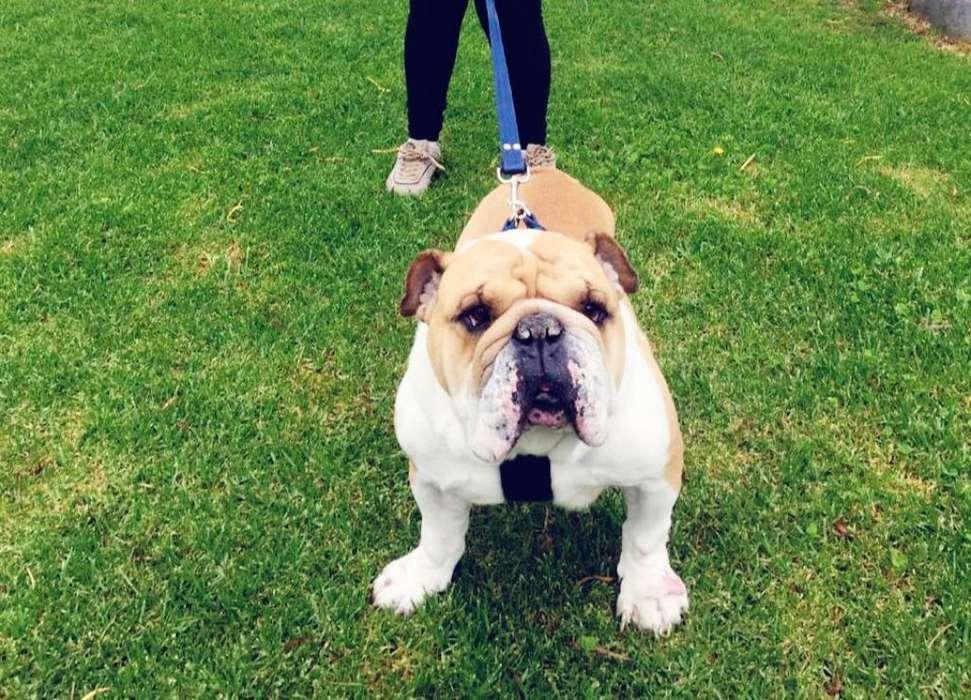 Se Busca Novia para <strong>bulldog</strong> Ingles