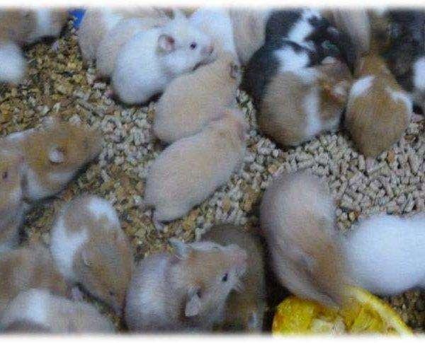 venta de hamsters x mayor y menor