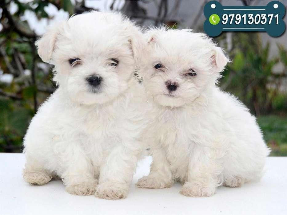 Preciosos Cachorros Maltes Toy Vacunados Y Desparasitados * Garantía de Raza y salud