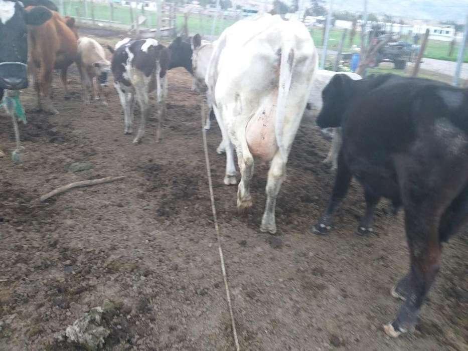 Vendo Hermosa <strong>vaca</strong> Pixan